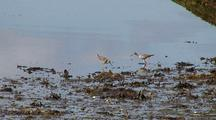 Lesser Yellowlegs Feed Along A Beach During Low Tide