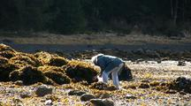 Harvesting Mussels During Low Tide.