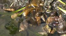 Tide Pool: Snails And Small Crabs Scurry About In A Tide Pool