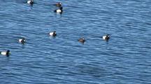 Sea Birds:  Lesser Scaups