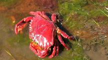 Red Crab  (Cancer Productus)