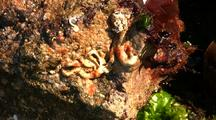 Tide Pool: Green, Red & Brown Algae And Tube Worms