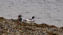 Merganser Ducks: Mating Pair