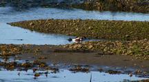 Ducks: Northern Shovelers