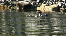 Merganser And Young.