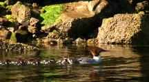 Female Merganser With Her Young.