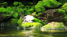 Duck: Merganser With Young