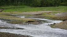 Duck: Merganser And Young Navigate A Stream.