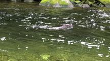 River Otter Dives Below Surface To Feed