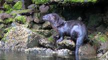 River Otter Climbs On To Shore To Eat Fish