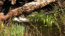Small Creek, Sedge Grass, And Skunk Cabbage