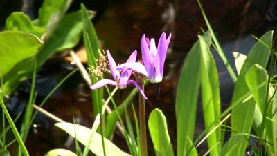 Shooting Star Flowers In Muskeg