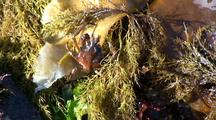 Tide Pool: Spider Crab