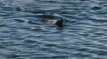 Alaska Steller Sea Lion