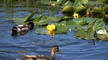 Ducks & Pond Lilly