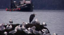 Great Blue Heron, Gulls And Fishing Boat