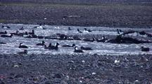 Surf Scooters Feeding On A Mudflat