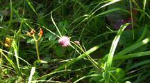 Wildflower: Wild Chives
