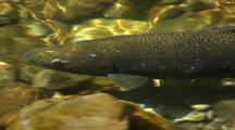 Close Up Of Spawning King Salmon