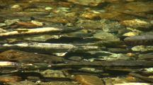 Chum And Pink Salmon In Spawning Colors