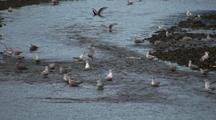 Gulls Attacking Salmon As They Swim Upstream