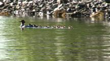 Merganser And Chicks, Some Ride On Her Back