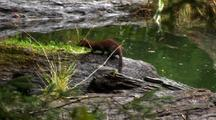 A Friendly Mink