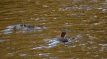 Mergansers Diving And Feeding In A River