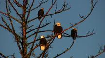 Bald Eagles In Tree Lit By Setting Sun