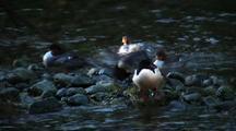 Common Mergansers Preen On Rocky Shore