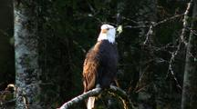 Bald Eagle Roosts On Branch
