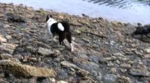 Dog Walking Down A Gravel Beach