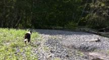 Dog Confronts A Sow Grizzly With Cubs.