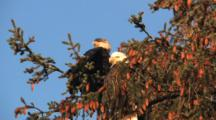 Bald Eagles Siting In A Tree Full Of Cones