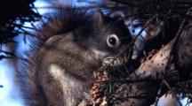Squirrel Feeding On A Spruce Tree Cone