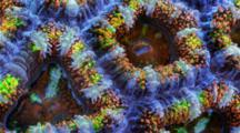 A Focus Stacked Macro Time Lapse Of An Acanthastrea Coral Moving, Frame Moves Sideways