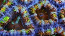 A Focus Stacked Macro Time Lapse Of An Acanthastrea Coral Moving, Frame Zooms In