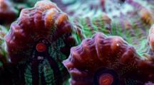 A Focus Stacked Macro Time Lapse Of A Fluorescent Chalice Coral Moving, Framze Zooms Out And Rotates
