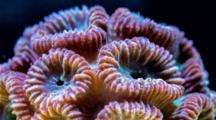 A Focus Stacked Macro Time Lapse Of A Fluorescent Favia Coral Moving