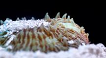 Focus Stacked Macro Time Lapse Of A Fungia Coral Emerging From Sand Burrow