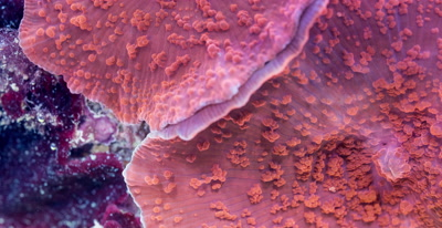 Focus Stacked Macro Time Lapse Of Discosoma soft corals