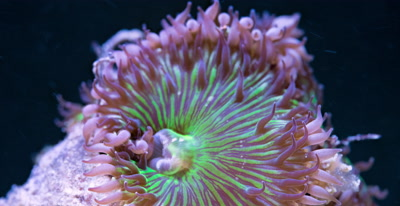 Focus Stacked Macro Time Lapse Of A Fluorescent Zoanthid Coral,Frames rotates aroung the object