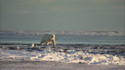 Polar Bear Walking In Arctic