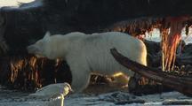 Polar Bear Feeding On Whale In Arctic Refuge National Monument Arctic National Wildlife Refuge Anwr 50th Anniversary