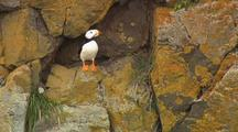 Horned Puffin On Cliff