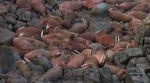 Group Of Walrus On Rock
