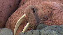 Walrus Close Up