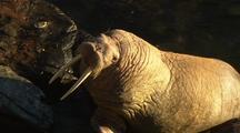 Walrus Walks On Rocks