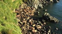 Establishing Of Walrus On Beach
