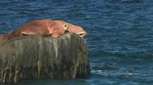 Pull From Two Walrus On Rock